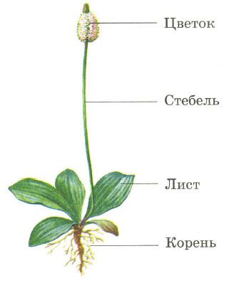 Растения хвойные и цветковые Строение размножение Плоды  Органы растения корень лист стебель цветок