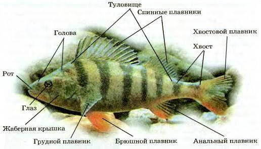 Распространение и внешнее строение рыб Биология Реферат доклад  Рис 161 Внешнее строение речного окуня