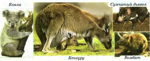 Своеобразие и уникальность растительного и животного мира  Сумчатые млекопитающие Австралии коала сумчатый дьявол кенгуру вомбат