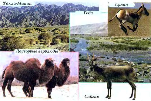 Пустыни и полупустыни Евразии География Реферат доклад  Рис 199 Пустыни умеренного пояса Такла Макан Гоби и их обитатели кулан двугорбые верблюды сайгак