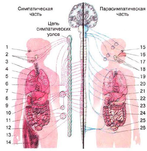 Строение и значение вегетативной нервной системы рисунок  Автономная нервная система Симпатическая нервная система 1 ресничная мышца расслабляется хрусталик фокусируется на отдалённые объекты